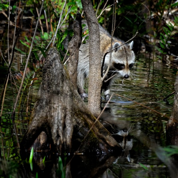Corkscrew Swamp Raccoon — food for the Python?